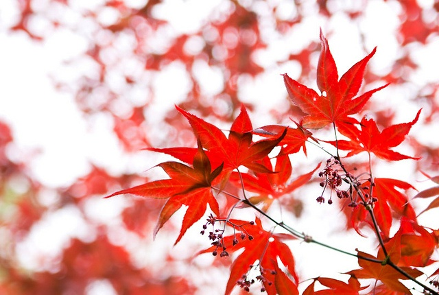 Red maple tree by SophieG
