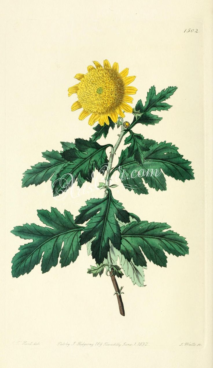 1502-chrysanthemum indicum plenum, Double yellow Indian Chrysanthemum   ...