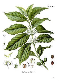 Caféier / Coffee tree / Coffea, arbuste à feuilles persistantes et opposées de la famille des Rubaciés