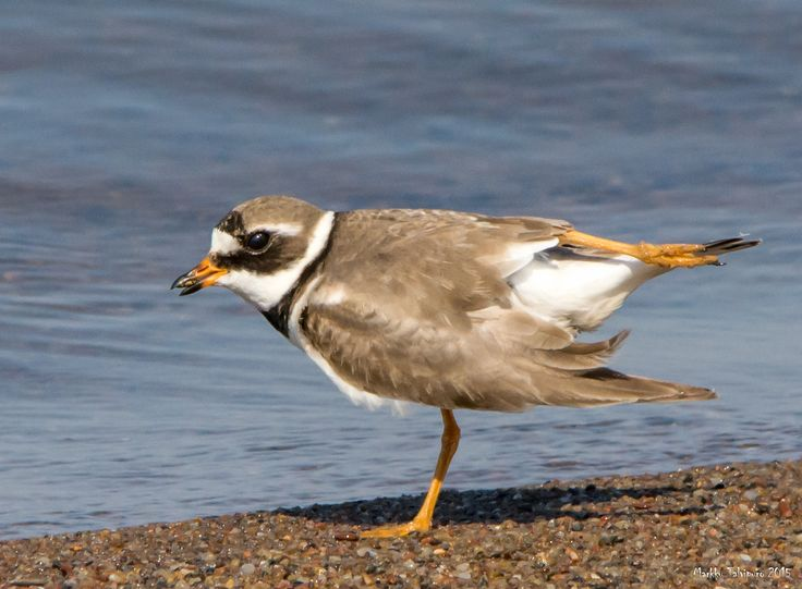 Semipalmated Plover by Markku Talvipuro on 500px
