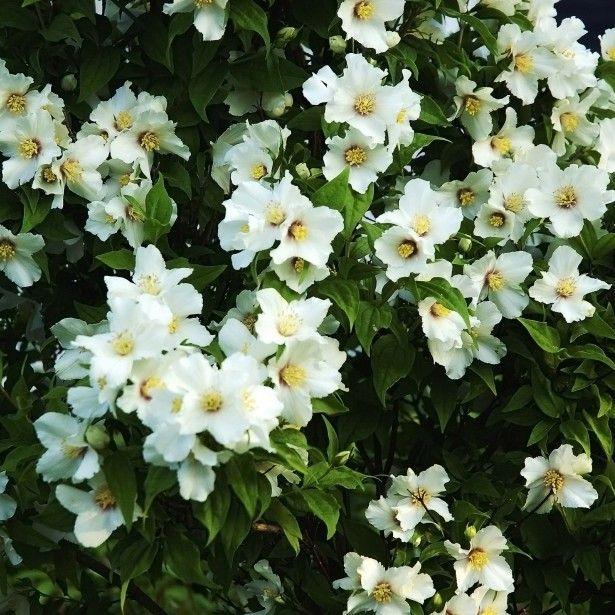 Les 25 meilleures idées de la catégorie Fleurs odorantes sur ...