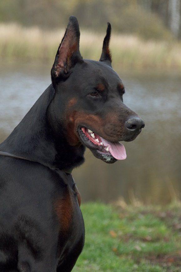 Moxito, pride of Russia  #Doberman looks like a dobie/rottweiler mix or something like that