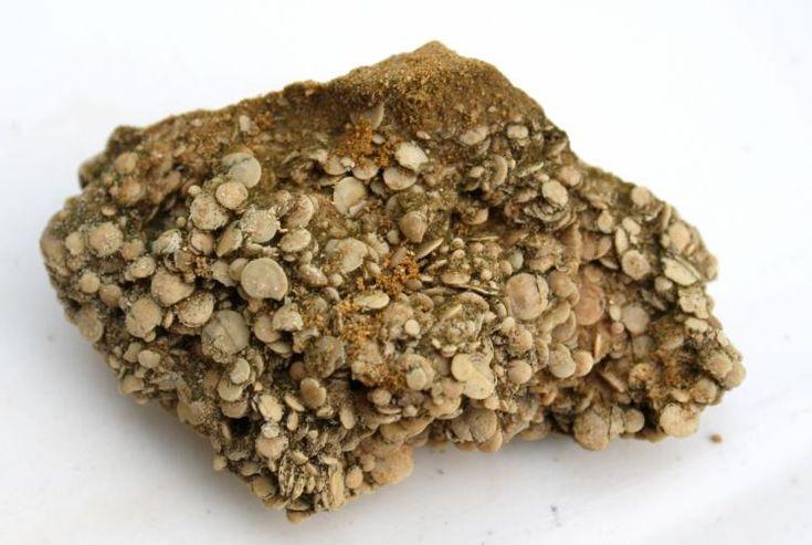 lumaquela de nummulites Biarritz, Francia. 9 cm