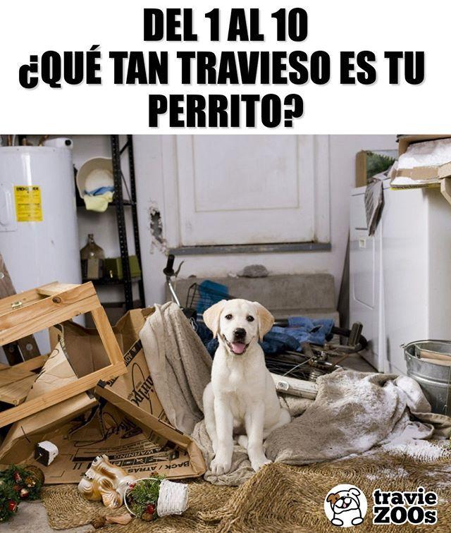 11 Travesuras Traviesos Dogs Perros Animales Desastre Perro Labrador Perros Perros Lindos