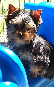 Yorkshire Terriers - Yorkie Puppies - Breeder Information - Training - San Diego