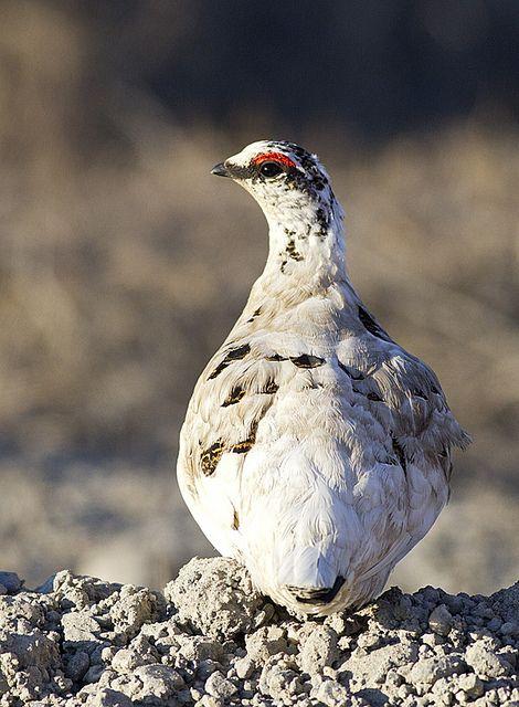 nunavut official bird