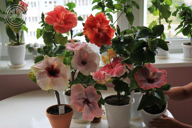КРАТКО О ГИБИСКУСЕ  Китайская роза, несомненно, один из самых популярных видов гибискуса, но далеко не единственный.  Род гибискусов необыкновенно богат – он насчитывает более 250 видов. Среди них есть вечнозеленые и листопадные деревья и кустарники, многолетние и однолетние травы, и далеко не все из них обладают крупными яркими цветками.   Главным образом эти растения, относящиеся к семейству мальвовых, распространены в Юго-Восточной Азии, но некоторые виды родом из Африки и Америки.  В…