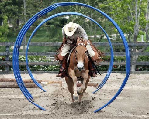 extreme obstacle Mule take's even this spooky obstacle on the Extreme Cowboy course in stride !