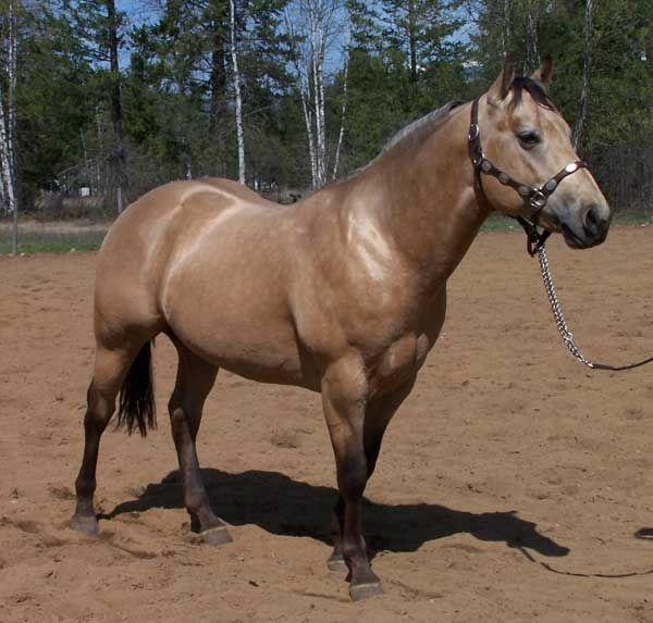 quarter horse buckskin - photo #11