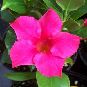 Rio™ Hot Pink Dipladenia '' this pink annual loves it hot and dry. Plus attracts hummingbirds!