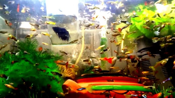 How I Bread Guppies Fish The Beast #fish #tank #howto #make #design #aquarium #FHD #1080P #NEW #2017 #Freshwater #Setup #Disease #Breeding #Plants #Books #Articles #Saltwater  #Guide #Reef #Coral #Live #Rock #Equipment #Reviews #Light #Brine #Shrimp #Hatchery #Osmosis #UV #Sterilizer #Chiller #most #pictures #videos  #movies #youtube #ever  Freshwater Fish Barbs Betta Catfish Cichlids Freshwater Inverts Gourami Livebearers Loaches Puffers Tetras Saltwater Fish Angelfish   Dwarf Angelfish…