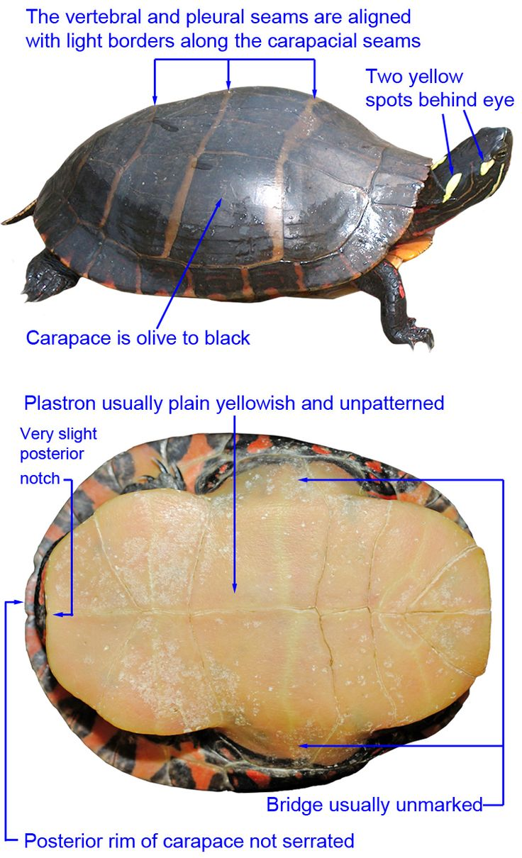 Eastern Painted Turtle Information