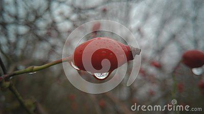 A shot of a lone rose hip with drops of rain hanging off of it on a rainy winter day.