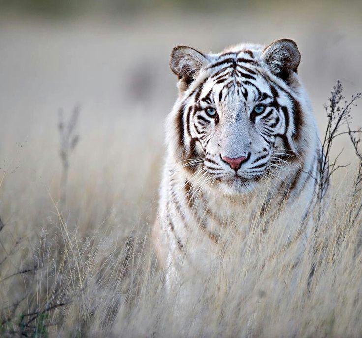 Pretty white tiger