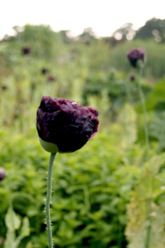 die besten 25 schlafmohn ideen auf pinterest opium pflanze schlafmohn samen und spiele ums. Black Bedroom Furniture Sets. Home Design Ideas