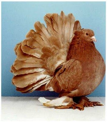 Red Indian Fantail pigeon