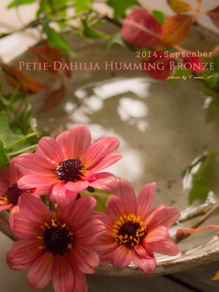 道のりを記憶に残して: 庭の花摘みノート プチダリア・ハミングブロンズとヘンリーヅタとアイビーと/花・ガーデニング