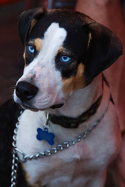 #Blue Eyed Dog  Like,Repin,Share, Thanks!