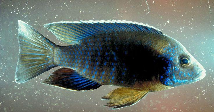 Peces compatibles con los cíclidos. Las especies de peces cíclidos pueden presentar problemas de compatibilidad. Este grupo increíblemente diverso (más de 1.000 especies) incluye los cíclidos de América del Sur, así como las especies africanas. Esto hace que sea muy difícil de categorizar las necesidades y la personalidad de los cíclidos como compañeros de acuario. La compatibilidad ...