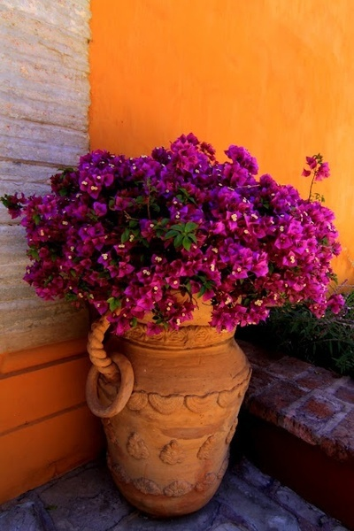 Bougainvillea in a pretty pot.                                                                                                                                                                                 More