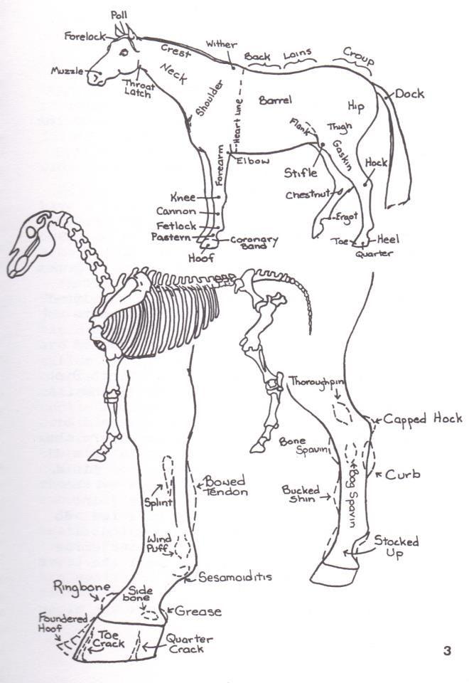 73 best Horses - body type/Diagrams/hooves/teeth images on Pinterest ...