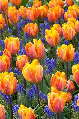 colorful tulips and grape hyacinths, Tulip Garden, Mt Vernon, Washington