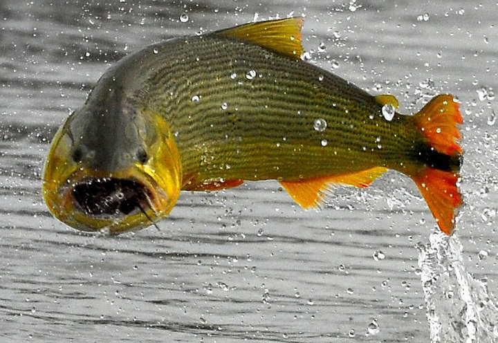 Pesca Nacional del Dorado | Alto Paraná Argentina