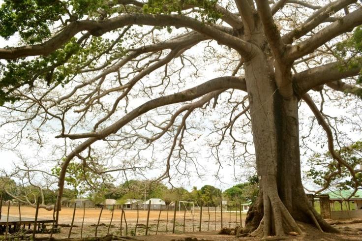 Ceiba de 500 años. Isla Fuerte-Colombia