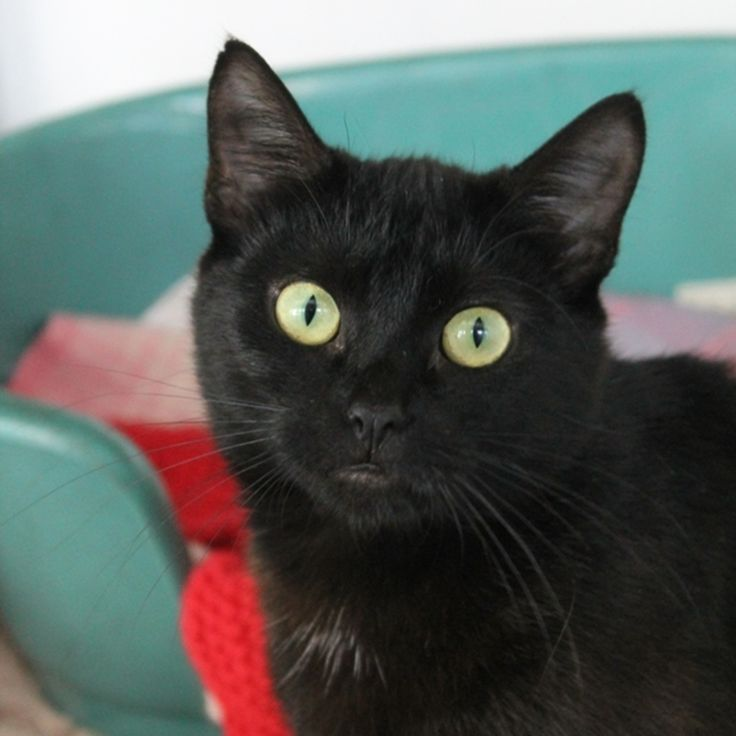 SPCA cat Tui, he's 1! I want to adopt a black cat, because I want to obvs adopt rather than buy and I want a black cat amd name it T'Challa!! Sonplz, if anyone loves me, adopt me a cat 😂 Picture of Tui