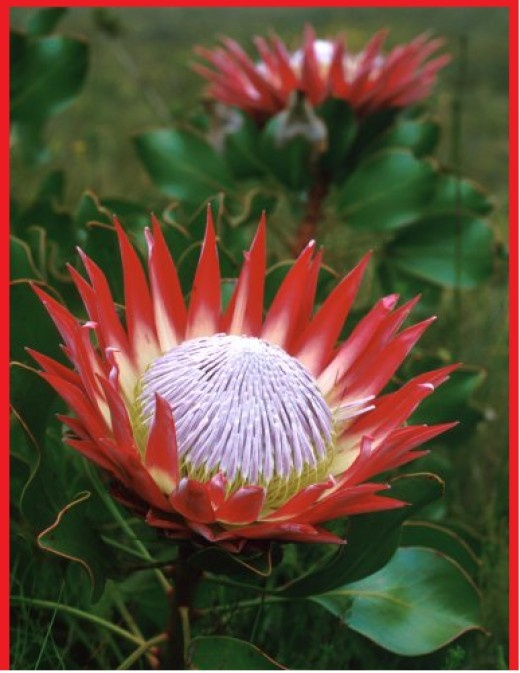 The King Protea (Protea cynaroides)