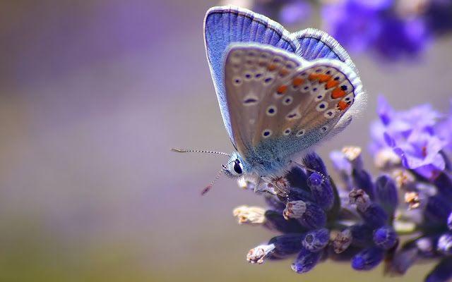 Mooie vlinder op een paarse bloem | Achtergrond Wallpapers
