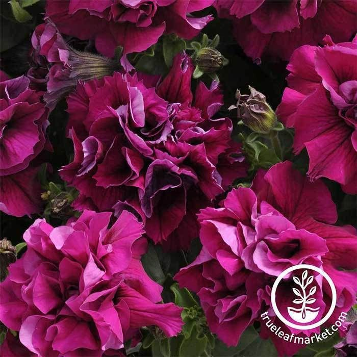 Cascade Bouquet Trailing 10 Pelleted Seeds PETUNIA DOUBLE BURGUNDY RED!!