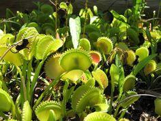 Cuidados básicos de las plantas carnívoras, ¡yo quiero una =)!