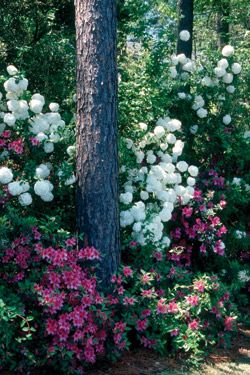 Chinese snowball viburnum (Viburnum macrocephalum) is an old-fashioned Southern garden favorite that adds pizzazz to this somewhat typical p...