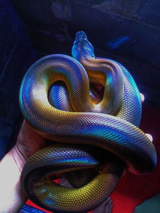 The handlers hand, reveals the snake's oil like Iridescent markings, are totally genuine = simply beautiful ❤
