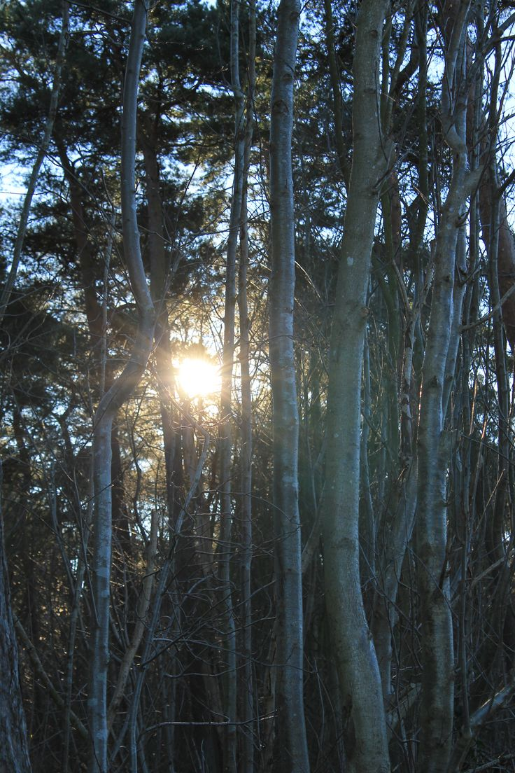 The sun behind the Pines down by the coastline.