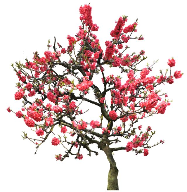 20 Free Tree PNG Images - cherry blossoms.