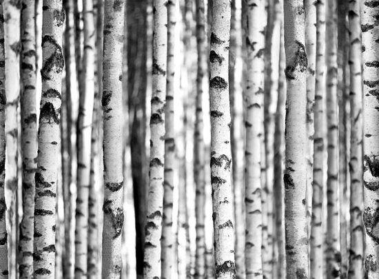 Fotobehang - Berken Bos - 232 cm x 315 cm - Zwart/Wit