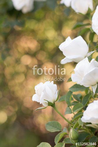 Rosa blanca con bokeh