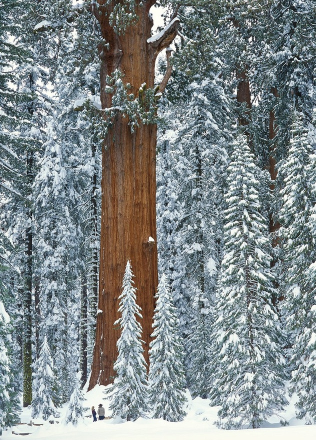 USA: California: Sequoia National Park: General Sherman Tree, a Sequoia in the Giant Forest, surrounded by snow after a winter storm: two visitors gaze up at the world's largest tree in the forest of snow - © Sean Arbabi/ Arbabi Imagery