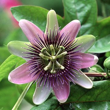 passiflora alatocaerulea- finally I know what this flowers' called!! Gorgeous  vine plant with this flower in my backyard, just beautiful!!