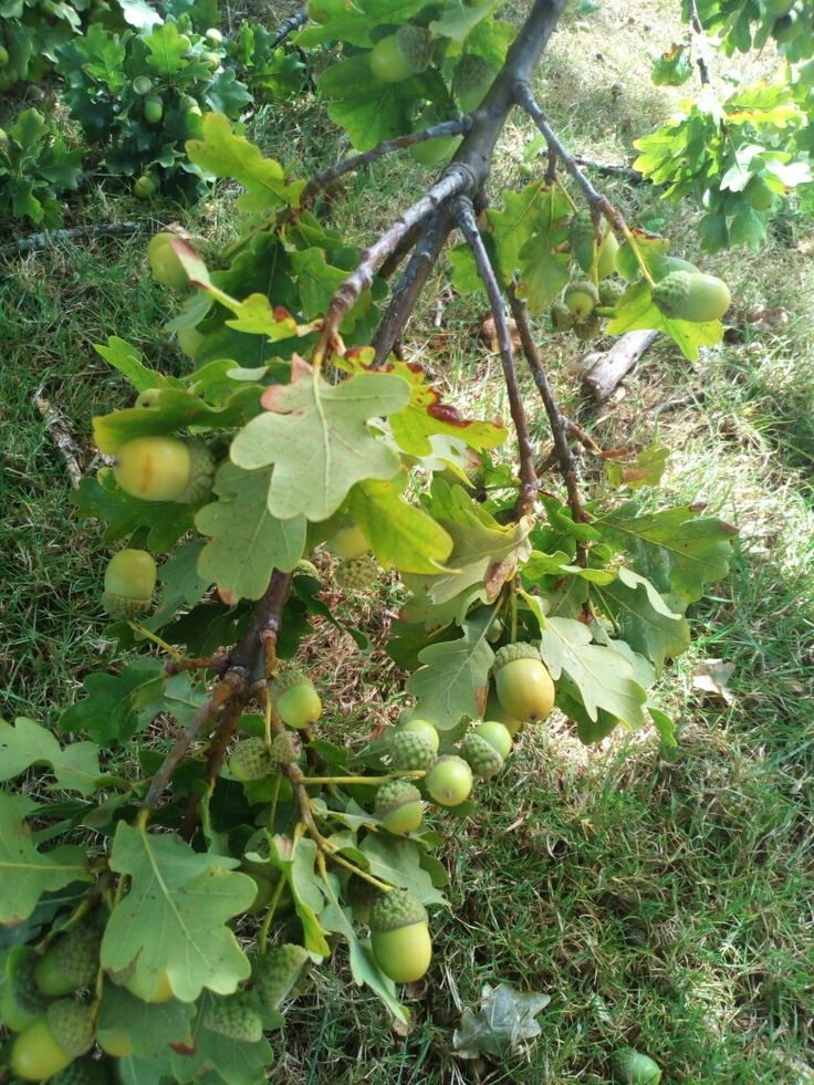 Loads of acorns on 160 year old oak, Steele Park, Hamilton East, New Zealand