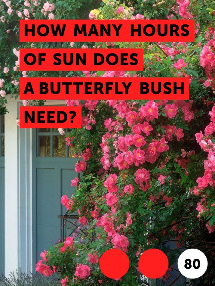 Learn How Many Hours Of Sun Does A Butterfly Bush Need How To Guides Tips And Tricks Butterfly Bush Summer Flowering Bulbs Plant Care