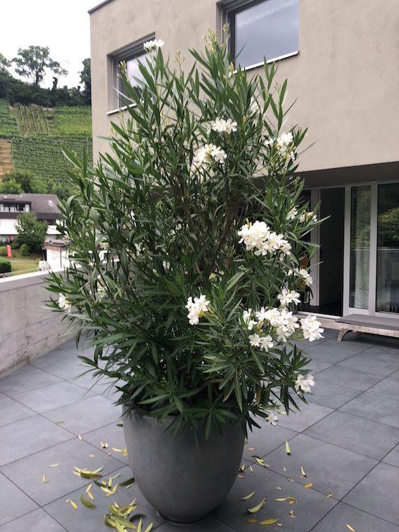 gelbe blätter oleander