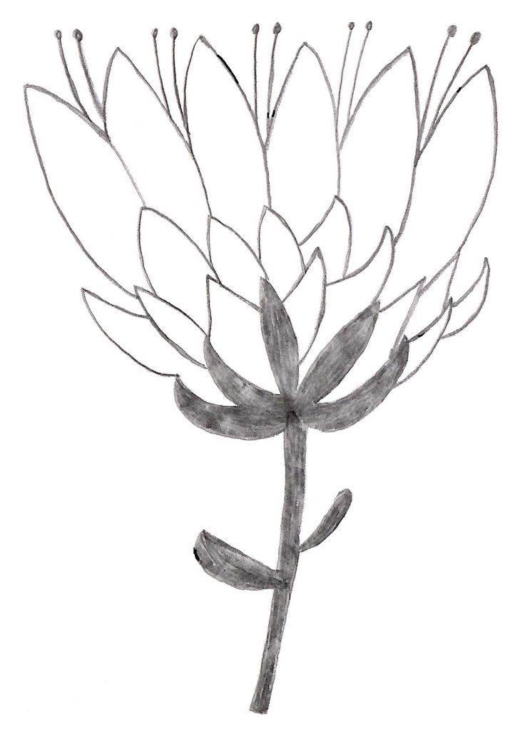 Protea #Protea #Drawing #Doodle