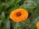 Growing Pot Marigolds (Calendula) – A Beautiful Edible Flower Judy Klimaszewski