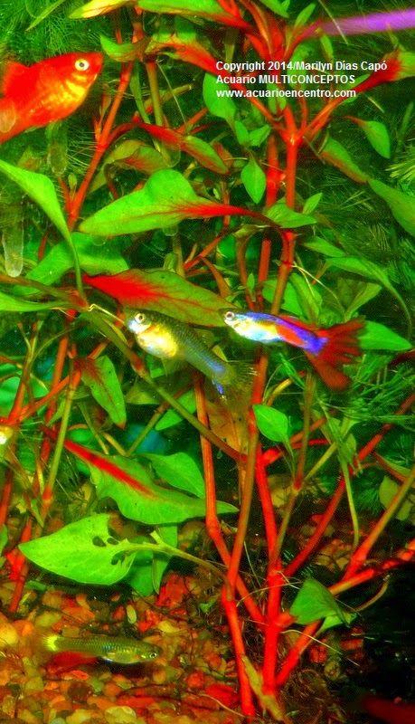 Las 25 mejores ideas sobre peces de agua dulce en for Peces agua dulce
