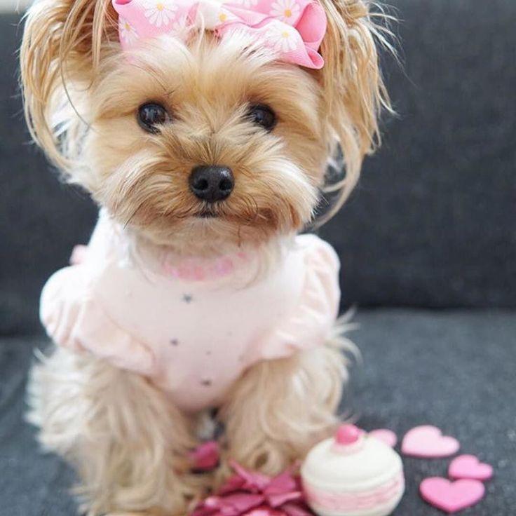 #Repost @cocoa_mama_1204  Happy 1st birthday sweet Bella!! @my_bella_yorkie  May this year be a wonderful one for you #bellas1stbarkday . . October is Breast Cancer Awareness Month.  #CancerAwarenessMonth #breastcancerawareness #bcastrength  #esteelauder . . いつも可愛らしくて写真がとっても素敵なBellaちゃん @my_bella_yorkie の1歳のお誕生日をお祝いします 新しい1年が素敵な年になりますように#bellas1stbarkday . 10月はピンクリボン運動の月です ココアもピンクの服を着て参加します #CancerAwarenessMonth #breastcancerawareness #bcastrength  #esteelauder…