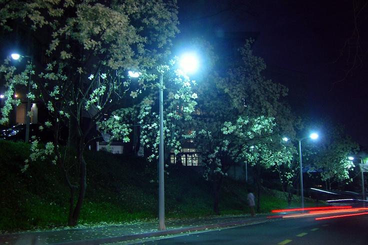 Magnolia blossom, a night view