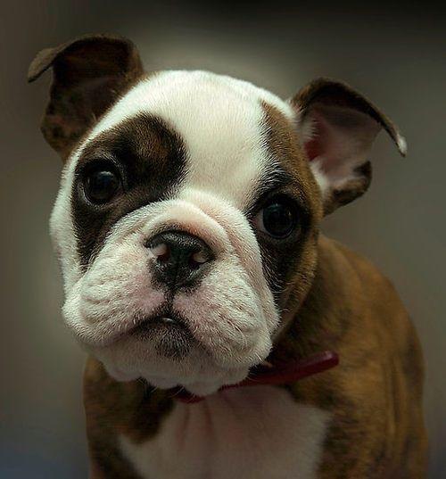 baby bulldog, puppy